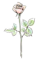 Single pink rose flower isolated on the white  background, vecto