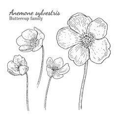 Anemone sylvestris flowerrs sketches set