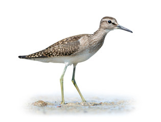 Wood sandpiper on white