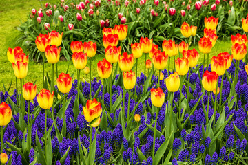 tulips and hyacinths flowerbed, Holland, park Keukenhof