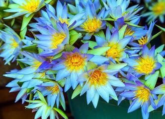lotus flower yellow background