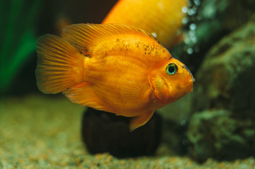Aquarium fish - Red Parrot Cichlid
