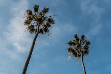 Two palm trees as seen from below with a background of blue sky and clouds.