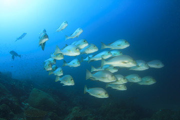 School of snappers fish
