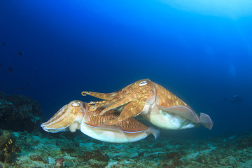 Pair Cuttlefish sex mating