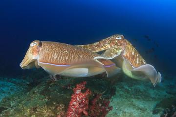 Pair Cuttlefish sex mating