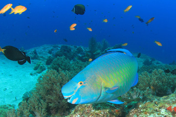 Parrotfish fish on underwater coral reef