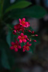 Red spicyJatropha flower.
