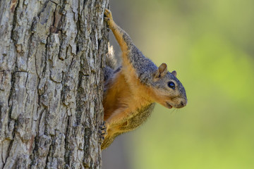 Comical Squirrel Hanging on side of tree -- soft Green Background Landscape