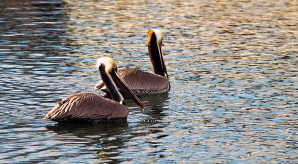 Brown Wild Pelican Bird San Diego Bay Animal Wildlife
