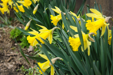 Daffodils in garden. narcissus