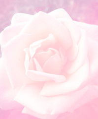 Close up leaves and pollen rose flower with pink color filter