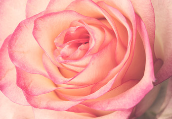 fresh pale pink rose