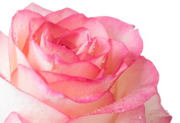 fresh pale pink rose
