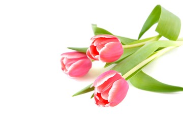 Tulips on white background.