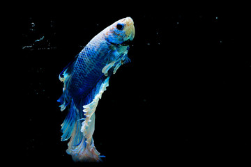 moment shot of figher fish on black background