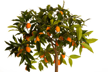 Fresh, ripe kumquats fruit on growing kumquat plant with green l