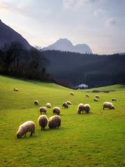 Poster de jardin Sheep sheep grazing in Basque Country