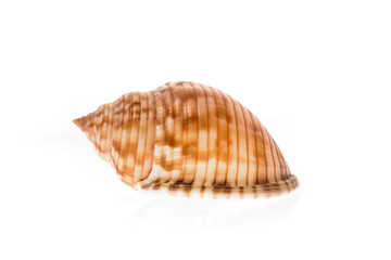 Helmet sea shell - Galeodea echinophora. Empty house of sea snai