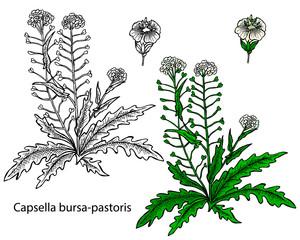 Capsella bursa-pastoris. Shepherd's-purse