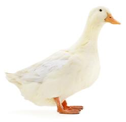 White duck on white.