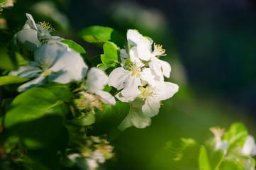 White flowers of apple trees in spring