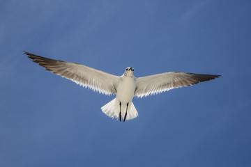 Primer plano de gaviota en vuelo