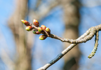 buds at early spring time