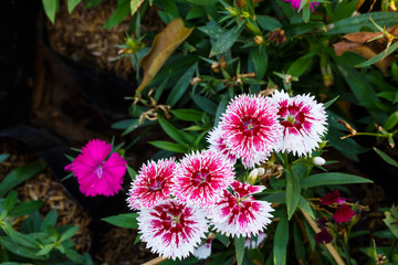 White red dianthus Chinensis Flowers in the garden