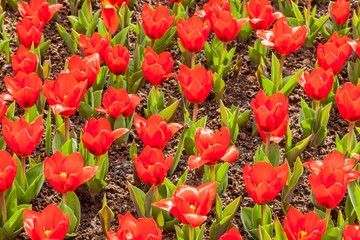 Keukenhof colorful blooming garden springtime