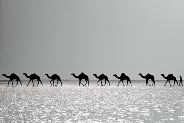 Afar herders guide a camel caravan. Danakil-Ethiopia. 0277-2
