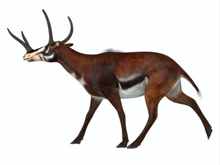 Kyptoceras Side Profile - Kyptoceras was a antelope type mammal that lived in North America during the Miocene to Pliocene Periods.
