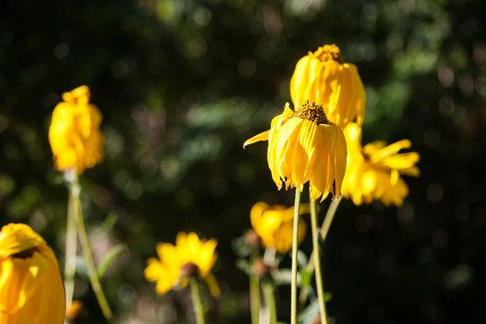 Wilting Yellow Flowers