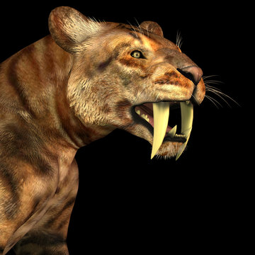 Saber-tooth Cat on Black - The Saber-tooth Cat also called Smilodon was a large predator that lived in the Eocene to Pleistocene Eras in North and South America.
