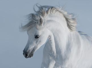 Fotoväggar - Purebred white arabian horse