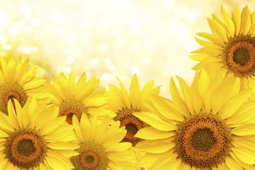 Sunflower natural background