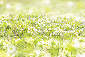 field of blooming primroses