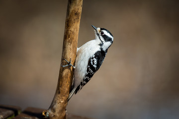 Downy woodpeckers are widely distributed across North America. Both commonly visit feeder areas where they feed on suet and sometimes seeds. These woodpeckers are the only common woodpeckers
