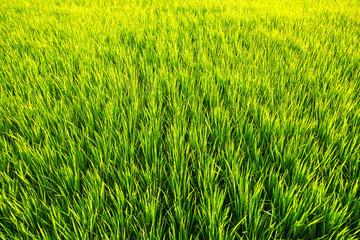 Green grass in sunlight. The rice field.