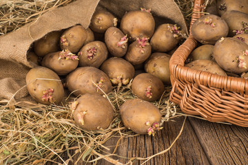 potatoes with sprouts for spring planting on the old wooden back