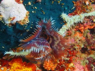 Tube worm, Island Bali