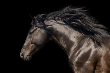 Black stallion in motion portrait isolated on black background