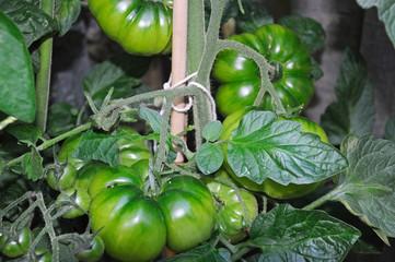 Beefsteak tomato plant.