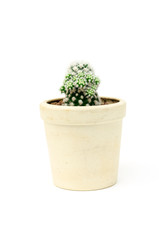 mammillaria arizona snowcap in pot on white isolated