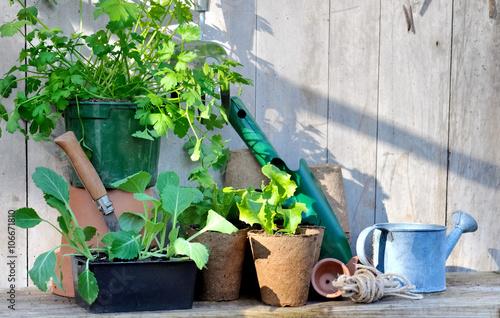 chou et salade en godet pour semis avec outils de jardinage. Black Bedroom Furniture Sets. Home Design Ideas