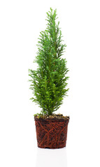 Cypress, thuja with roots isolated on white background