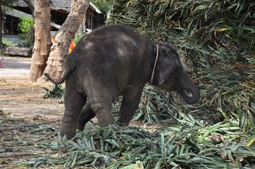 Thai Baby Elephant eating food