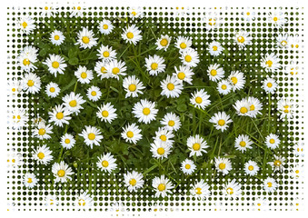 Daisies in a meadow close up with halftone frame