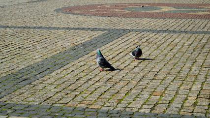 Gołębie na ostrowskim rynku