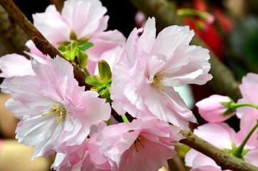 Sakura, the famouse flower of Japan